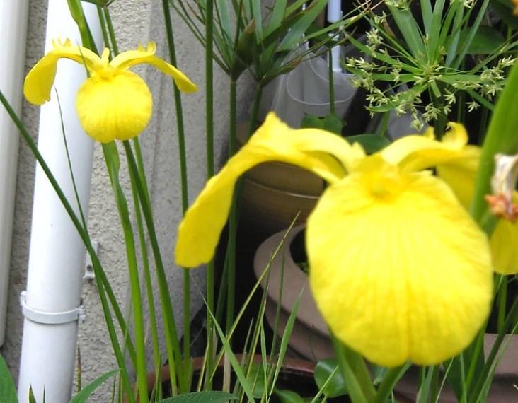 キショウブ(イエローアイリス)の花